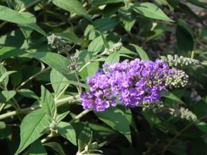 Purple Flowers of Butterfly Bush