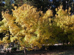 Fall Color of Fringe Tree