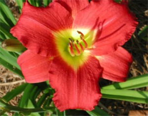 Happy-Return-Daylily