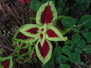 Beautiful Coleus Leaves