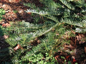 Leaves of Japanese Plum Yew