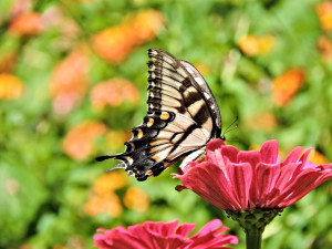 Zinnia and Eastern Tiger Swallowtail
