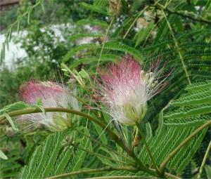 Albizzia Julibrissin Tree Flowers