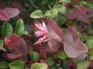 Flower of Chinese Fringe Flower