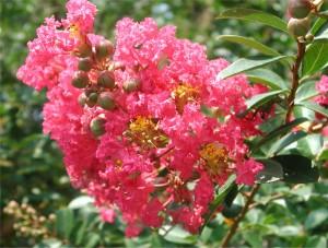 Flowers of Crape Myrtle