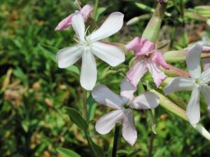 Soapwort Flowers Photo