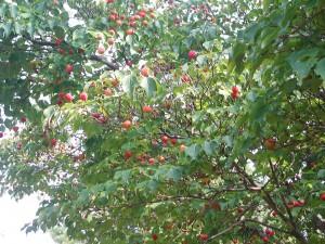Fruits of Kousa Dogwood