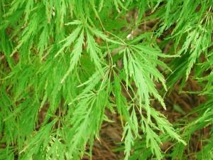 Lace-Leaf Japanese Maple