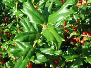 Leaves of China Girl Holly
