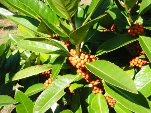 Leaves & Berries of Lusterleaf Holly