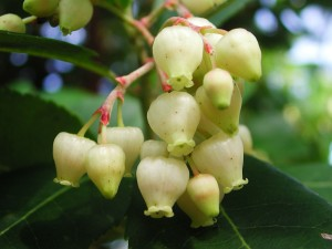 Flowers of Strawberry Tree