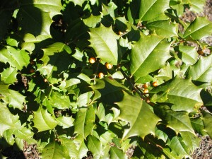 Yellow Berry American Holly