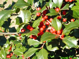 Red Berry American Holly
