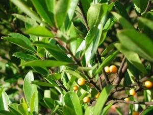 Yellow Berries of Dahoon Holly