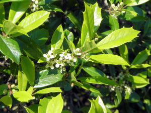 Foster's Holly