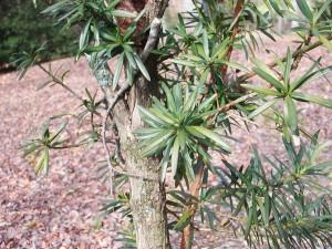 Chinese Podocarpus