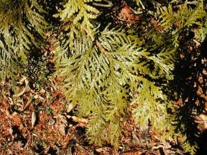Leaves of Eastern Arborvitae