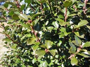 Meserve Holly