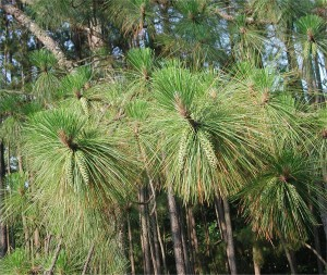 Leaves of Longleaf Pine