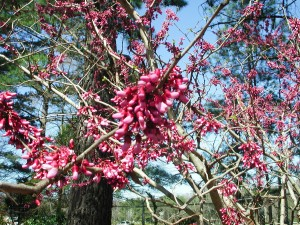 Flowers of Giant Redbud