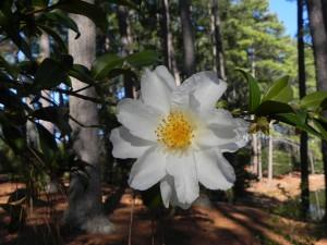 White fFlower of Japanese Camellia