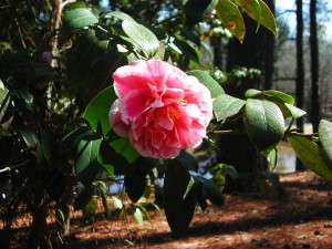 White and Pink Japanese Camellia Flower
