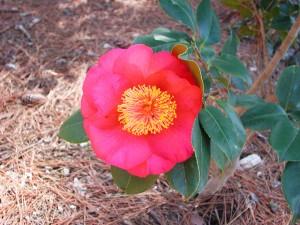 Flower of Japanese Camellia