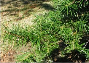Leaves of Keteleeria