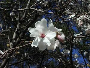 Flower of Magnolia Stelata