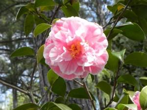 Flower of Light Pink Color Japanese Camellia