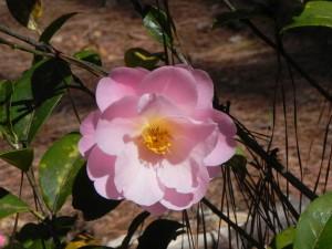 Light Pink Color Camellia Flower