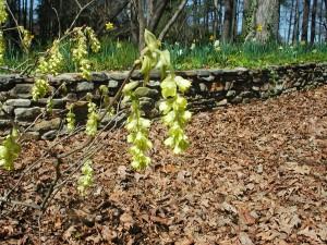 Flowers of Spike Winterhazel