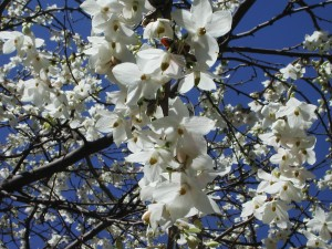 Woodyfruit Melliodendron