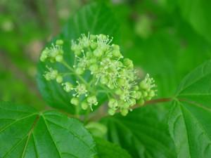 Flowers of Amur Maple