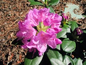 Pink Flowers of Catawbiense Grandiflorum