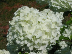 White flowers of Chinese Snowball Viburnum