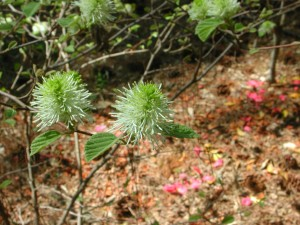Flowers of Dwarf Fothergilla