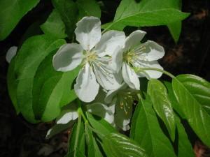 White Flowers of Crabapple