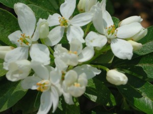 Flowers of Mexican Orange