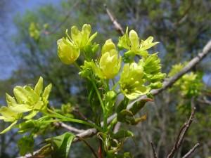 Flowers of Purpleblow Maple
