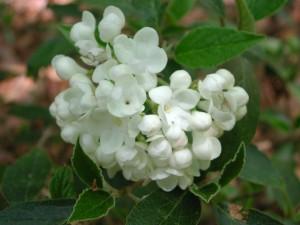 White Flowers of Service Viburnum