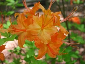 Flowers of Hybrid Azalea