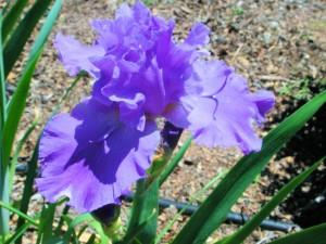 Purple Iris Flower - Monly's Sweet Blue