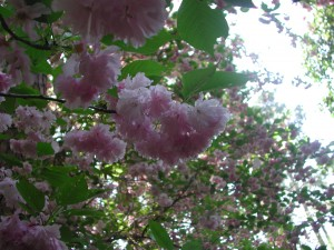 Pink Yae-Zakura  -  Japanese Flowering Cherry
