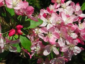 Flowers of Japanese Flowering Crabapple