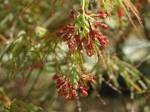 Flowers of Lace-Leaf Japanese Maple