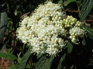 Flowers of Leatherleaf Viburnum