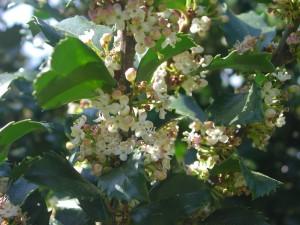 Flowers of Meserve Holly