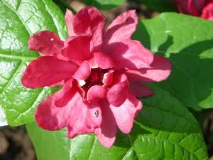 Flower of Raulston's Sweetshrub