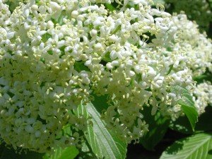 Flowers of Siebold Viburnum
